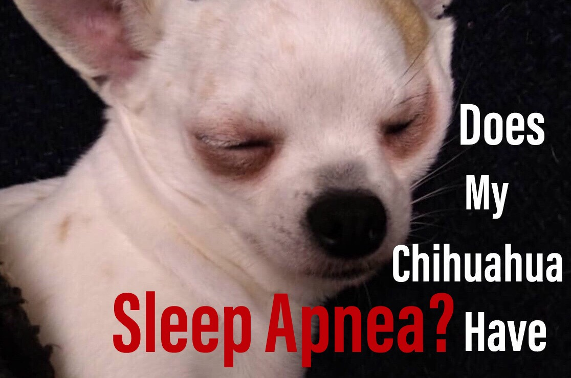 Chihuahua Sleep Apnea