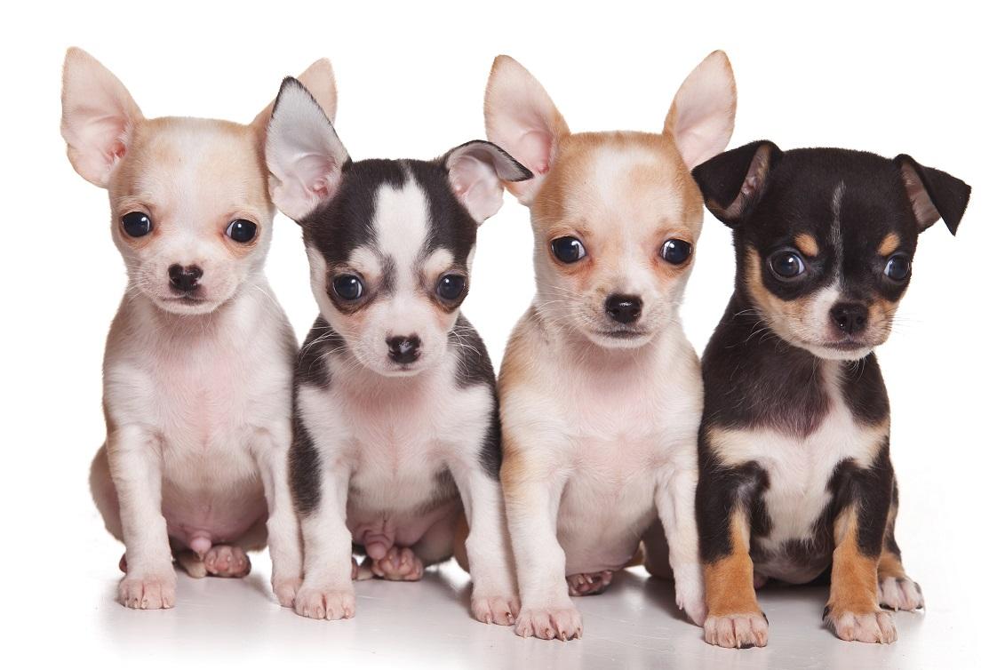 Chiwawa puppies 1