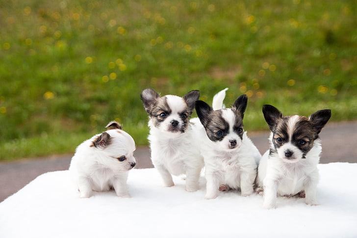 Chihuahua Breeding 1