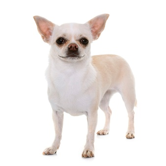 Types of chihuahua 3