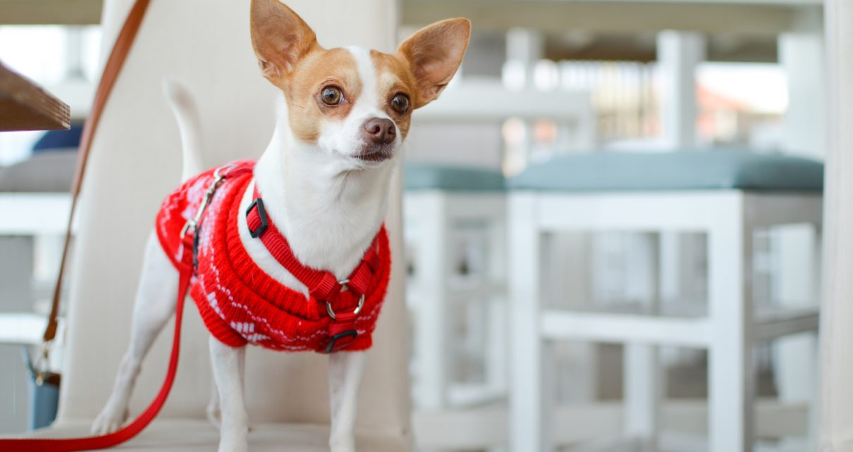 dangers to the chihuahua