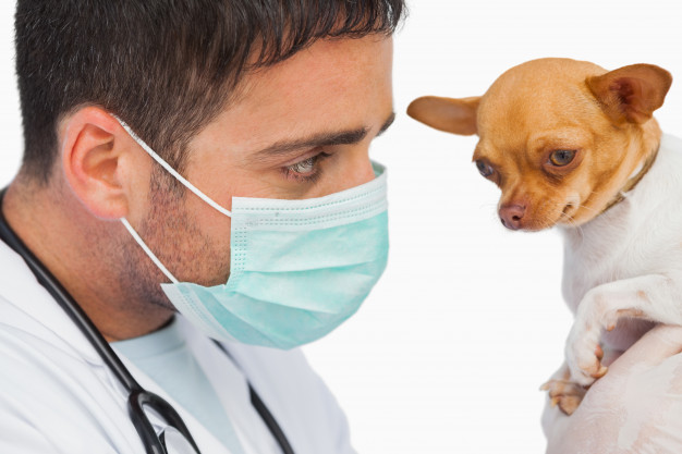 chihuahua dog health
