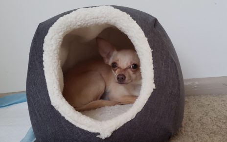 Shy or timid chihuahua 26