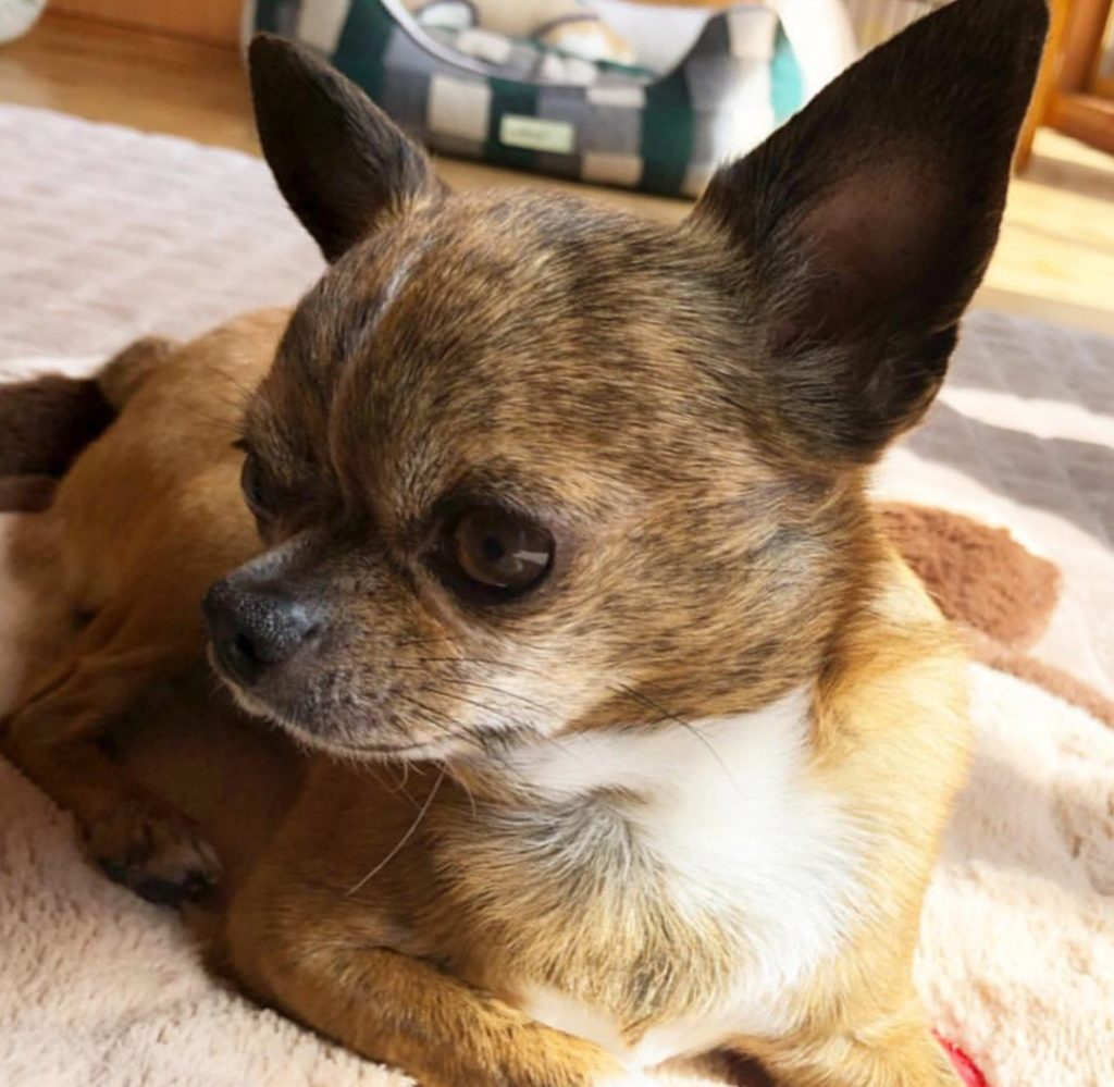 Brindle chihuahua picture