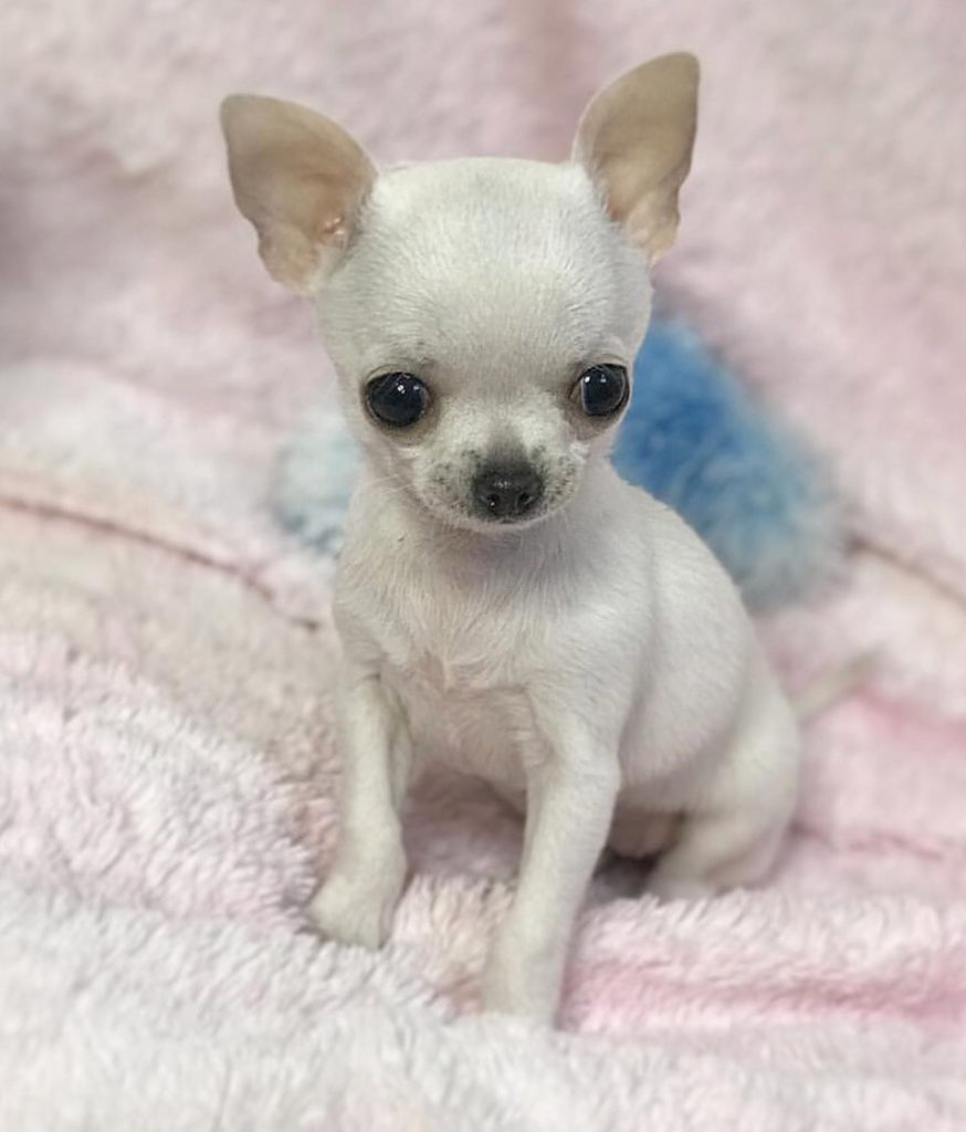 Teacup Chihuahua Facts And