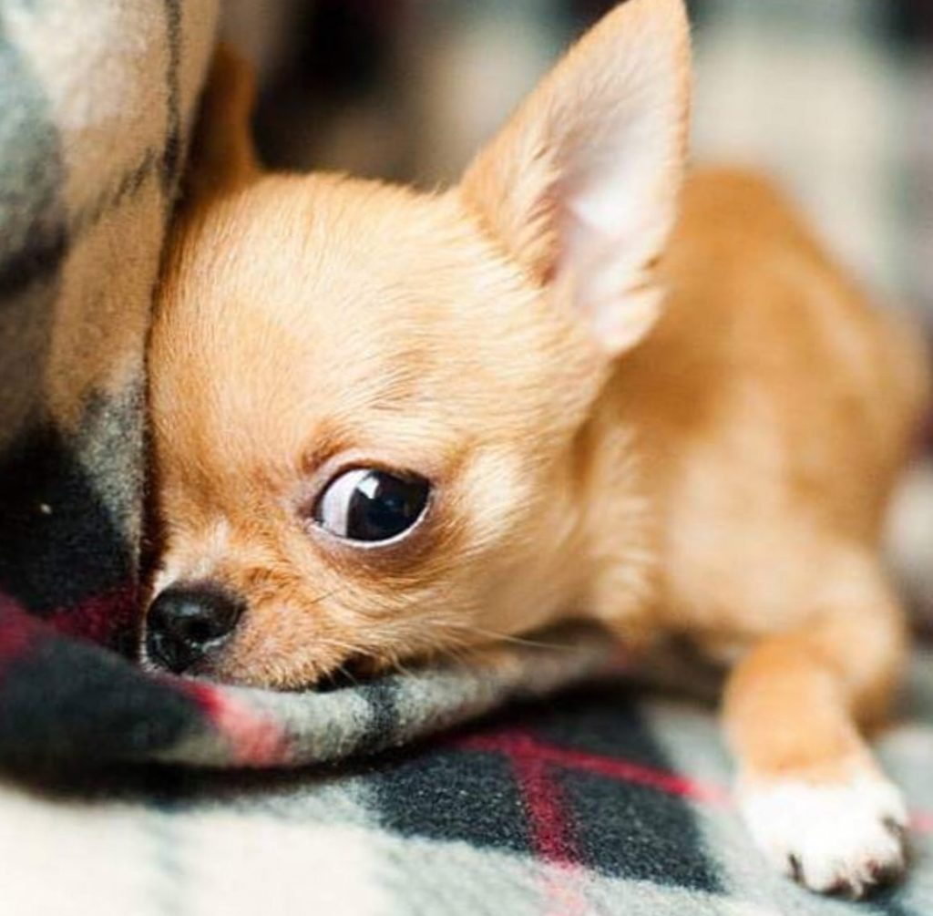 Chihuahua Dog - Chiwawa Dog Information 7