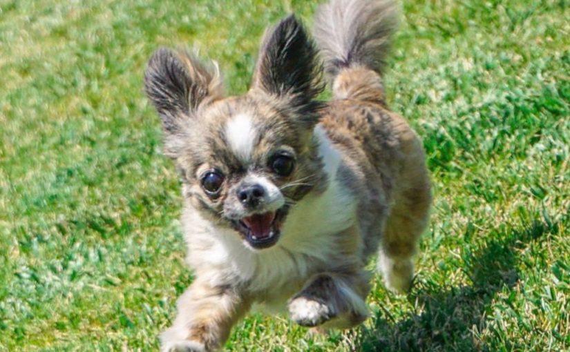 La Chihuahua 1