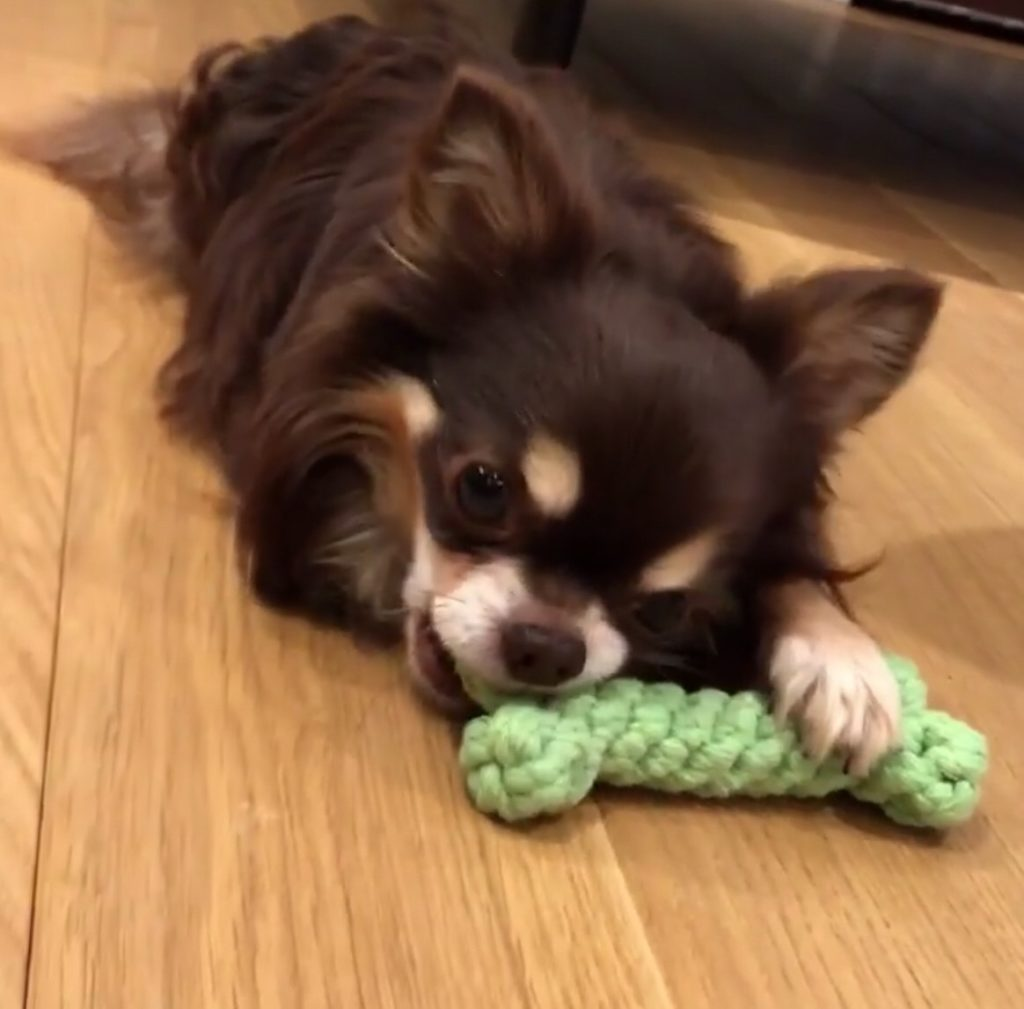 Chihuahua teething info