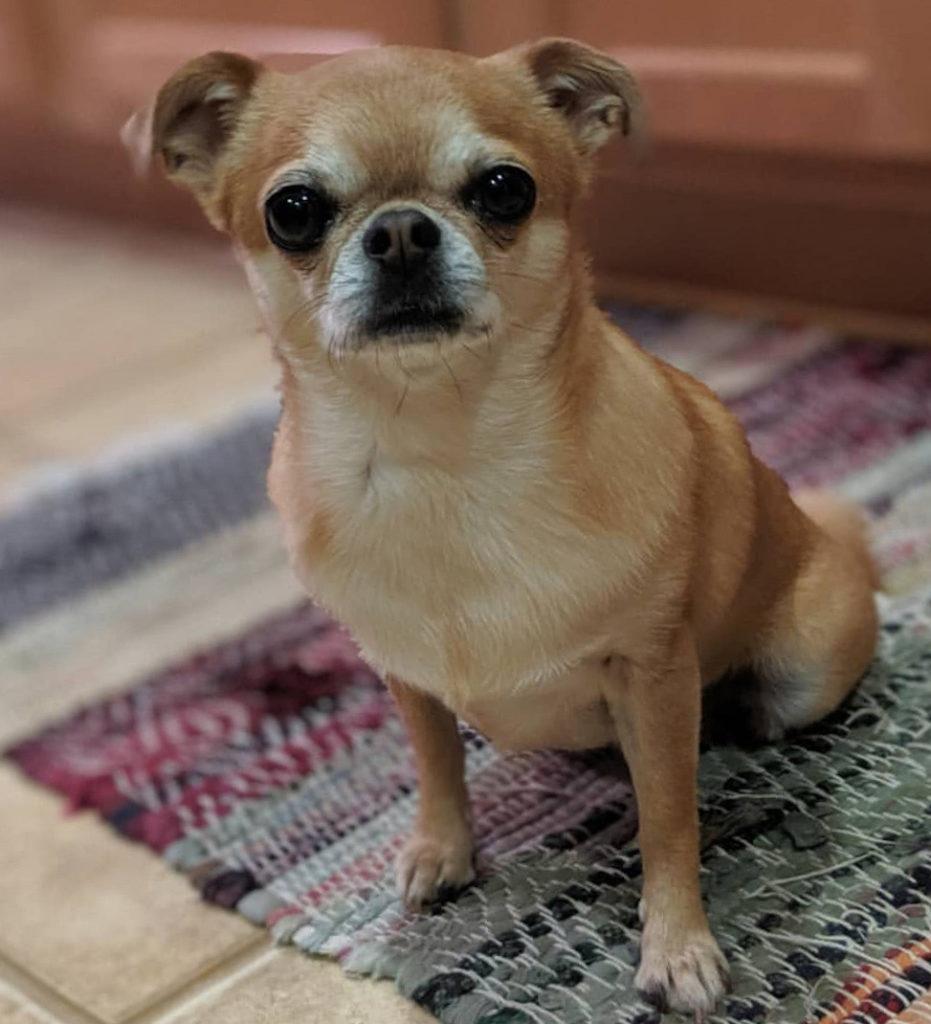 Chihuahua mixed with pug